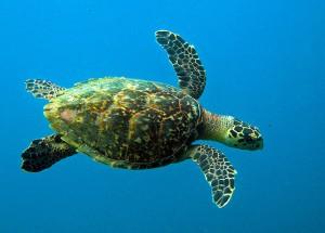 Green turtle in Roatan